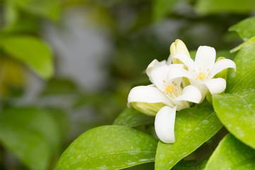 Obraz na płótnie Canvas Macro has small white flowers.