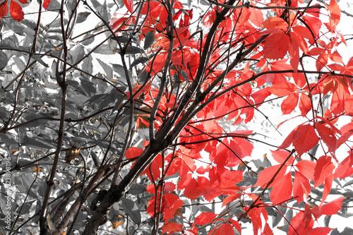 czarno-biale-zdjecie-z-czerwonymi-liscmi