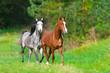 Two arabian horses run in spring landscape