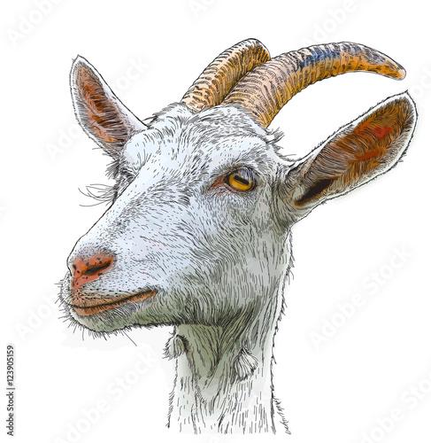goat - a portrait - a vector color drawing Fototapeta