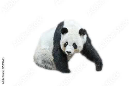 Stickers pour portes Panda The Giant Panda, Ailuropoda melanoleuca, also known as panda bear, is a bear native to south central China. Panda sitting front view, isolated on white background, often used as an symbol of China.