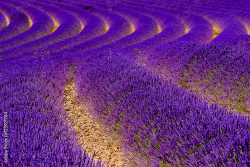 Valokuva  Blooming lavender in a field at Provence