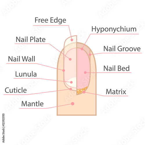 Structure And Anatomy Of Human Nail Color Medical Scheme On White