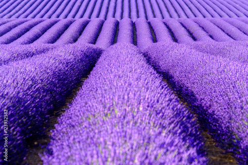 Blooming lavender in a field at Provence Canvas-taulu