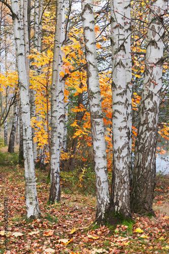 Poster Berkbosje Birch trees in autumn