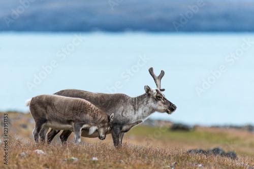 Papiers peints Scandinavie Reindeer