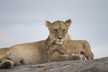 Lioness With Cubs On Kojpe In Tansania Africa
