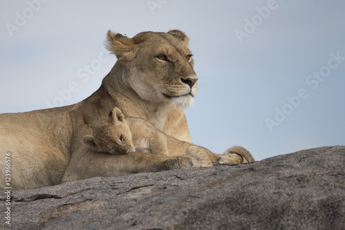 Fotografie, Obraz  Lioness with cubs on Kojpe in Tansania Africa