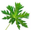 Closeup Papaya Leaf On White Background