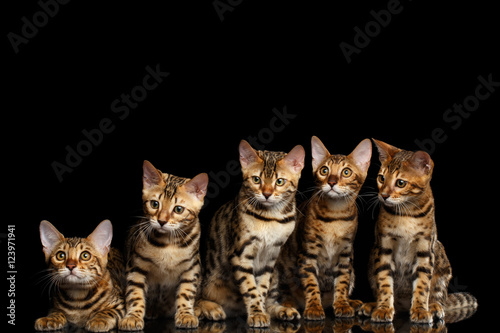 Group of Five Adorable Bengal kittens Sitting on isolated Black Background with Wallpaper Mural