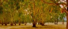 Lake Glenmaggie Gum Trees