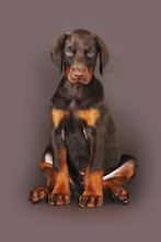 Beautiful Brown Doberman Puppy Sitting On Brown Background In Th