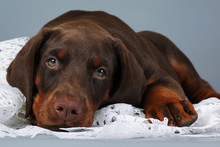 Beautiful Purebred Brown Doberman Puppy Very Sad, Put His Head A