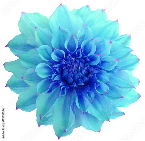 Poster de jardin Dahlia Dahlia flower, white background isolated with clipping path. Closeup. with no shadows. Macro. Nature. blue.