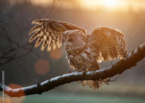 Tawny Owl is sitting on birch branch.
