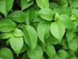 green leaf ( Bougainvillea flower )