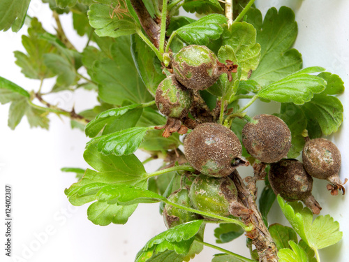 Valokuva  Gooseberries infected and damaged by fungus disease powdery mildew close up