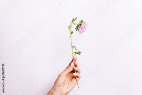 Valokuva  Pink flower in female hand with white manicure on a light backgr