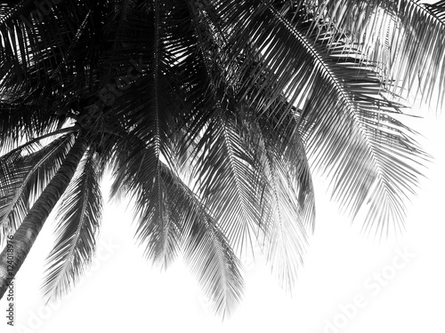 Recess Fitting Palm tree beautiful palms leaf on white background