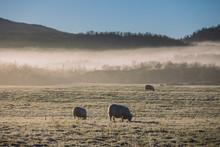 Sheep Grazing On Frosty Grass In Northern Norway. Photo: Marius Fiskum