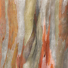 Colorful Abstract Pattern Of Old Eucalyptus Tree Bark