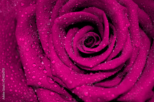 rose fuchsia with rain droplets
