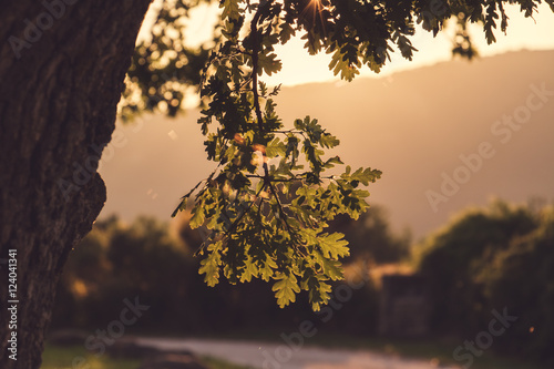 Oak Tree in the Evening Light.Cinematic Look.