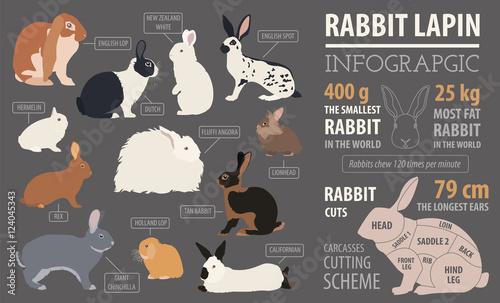 Valokuva  Rabbit, lapin breed infographic template. Flat design