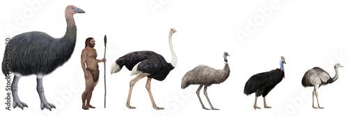 Tablou Canvas Flightless large birds comparation vs human
