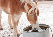 Belgian Draft Horse Drinkin Water From A Water Trough On A Cold Winter Day