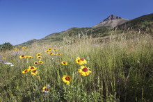 Brown-Eyed Susan Flowers On A Grassy Hillside With A Mountain Peak In The Distance And A Blue Sky; Waterton, Alberta, Canada