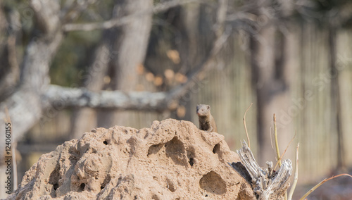 In de dag Hyena Wild Dwarf Mongoose (Helogale parvula) on Termite Mound in Africa
