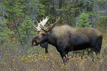 Moose (Alces Alces) In A Forest; Alberta, Canada