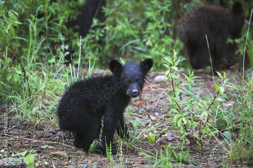 Young Black Bear (Ursus Americanus) Cub And Sibling; Centreville, British Columbia, Canada