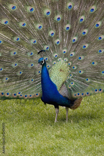 Close-Up Of A Peacock With Feathers Fanned; Calgary, Alberta, Canada