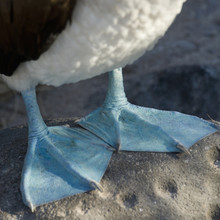 Webbed Feet Of The Blue-Footed Booby (Sula Nebouxii); Galapagos, Equador
