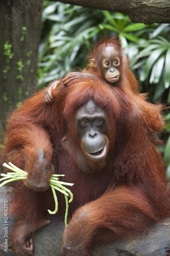 A Mother Orangutan Eats Vegetables With Her Baby At The Singapore Zoo; Singapore