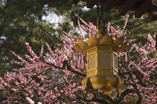 Golden Lantern With Cherry Blo...