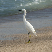 A White Bird Standing On The Sand At The Water's Edge; Sayulita, Mexico