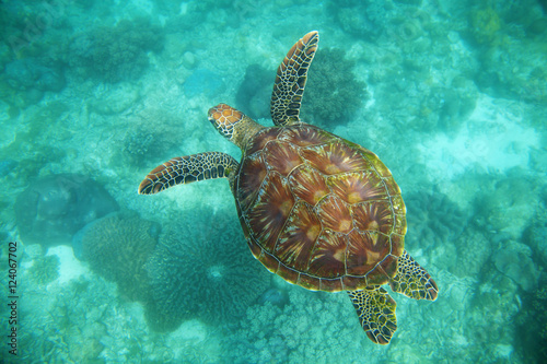 Sea turtle, Apo Island, Negros Oriental, Philippines