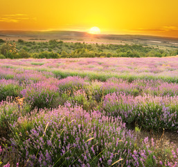 Fototapeta Meadow of lavender.
