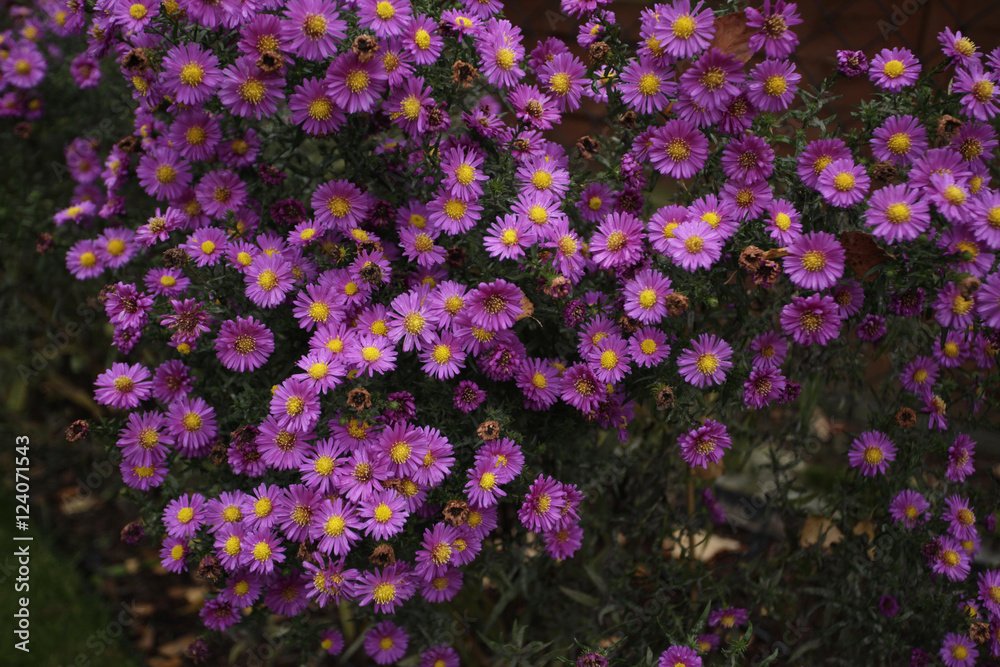 Fototapety, obrazy: dużo kwiatów - astry w ogrodzie