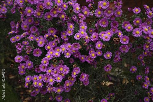 Fototapeta dużo kwiatów - astry w ogrodzie obraz