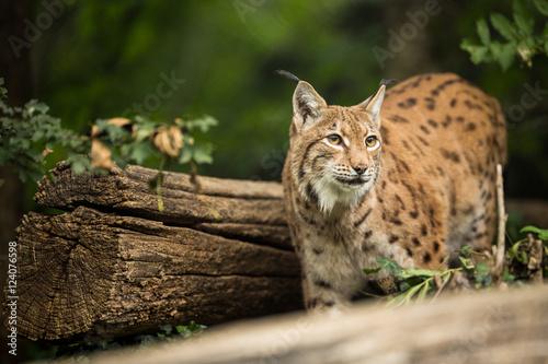 Foto auf Leinwand Luchs Eurasian Lynx (Lynx lynx)