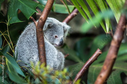 Keuken foto achterwand Koala Koala on a tree with bush green background