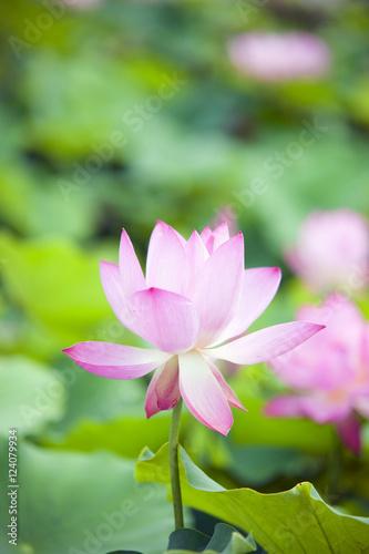 Foto op Canvas Lotusbloem 연꽃 lotus