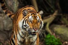 Close Up Face Tiger At The Zoo...