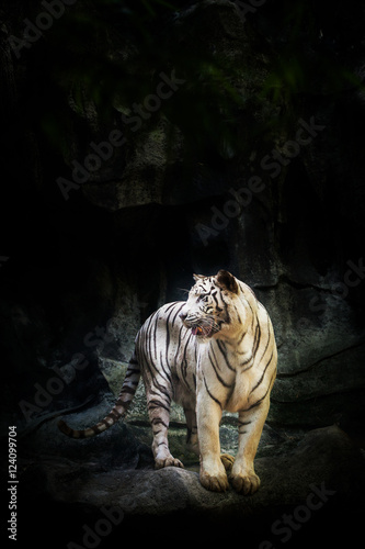 In de dag Panter White Tiger on the rock in the zoo