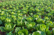 Cabbage field close up