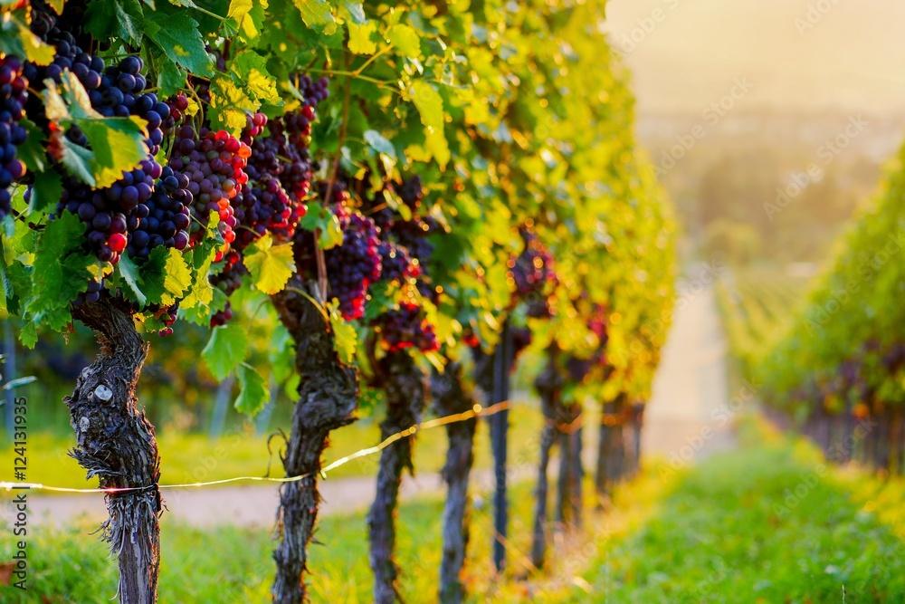 Weinberg mit roten Trauben bei Sonnenuntergang